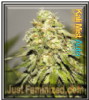 Auto Kali Mist Feminized Mix & Match Seeds